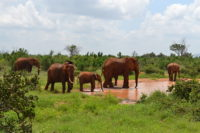 African bush elephant group, by a waterhole located next to a dirt road, north-west of Tarhi Eco Camp, in Tsavo East National Park, Kenya.