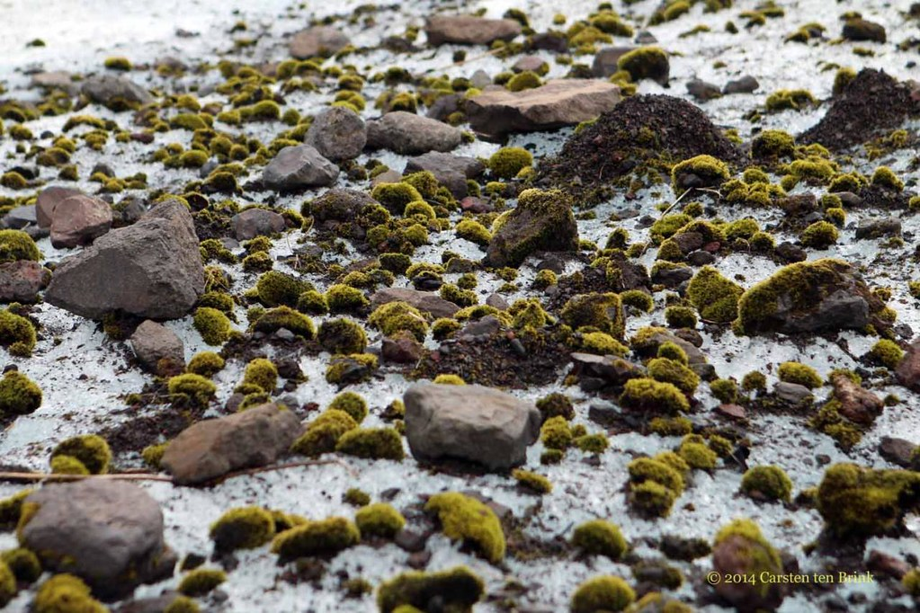 The moss is known as a glacier mouse because it moves around on the surface, jolted by the wind