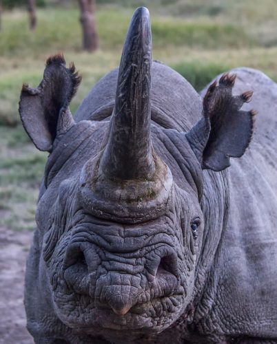 Barako, a black rhino at Ol Pejeta, the largest black rhino sanctuary in east Africa, and home to two of the world's last remaining northern white rhino.