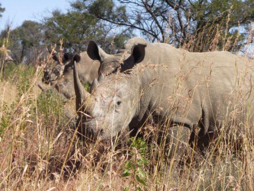 Rhino on private reserve in Mpumalanga, Mpumalanga, South Africa.