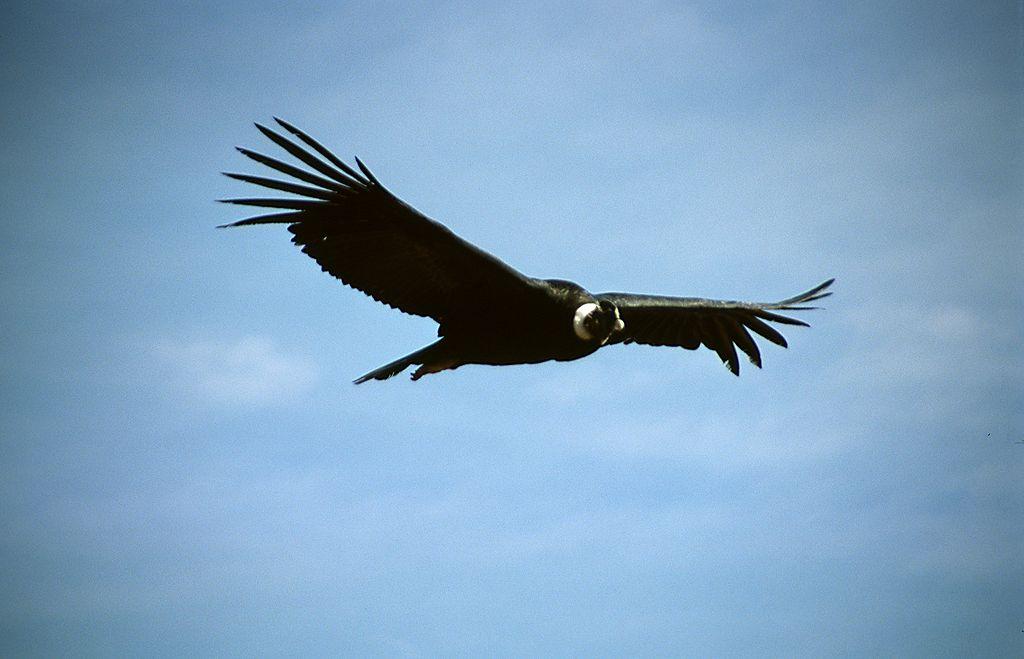 Andean Condor (Vultur gryphus) at Cruz del Cóndor in Colca Canyon, Colca Valley, Peru.