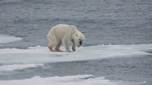 In summer, some polar bears do not make the transition from their winter residence on the Svalbard islands to the dense drift ice and pack ice of the high arctic where they would find a plethora of prey.