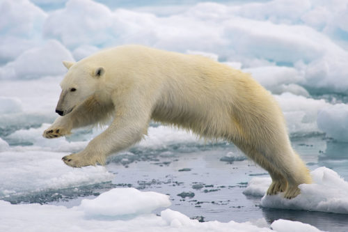 A Polar Bear (Ursus maritimus) jumping across two ice floes.