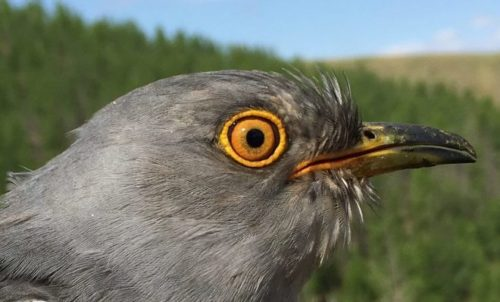 Onon is a common cuckoo. He's one of 5 cuckoos who were tagged last summer in Mongolia, far to the north of China.