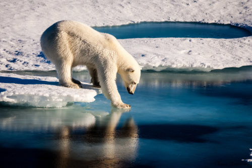 Polar Bears Across the Arctic Face Shorter Sea Ice Season. Polar bears already face shorter ice seasons - limiting prime hunting and breeding opportunities.