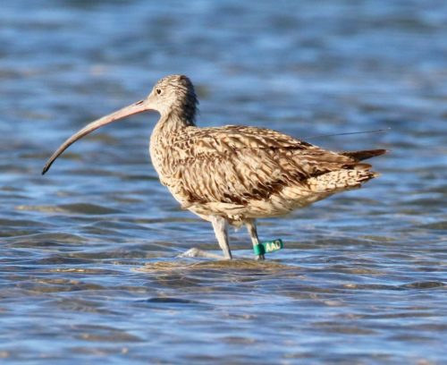 Eastern Curlew AAD, with tracker.
