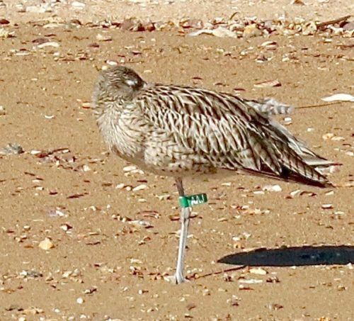 AAJ, a young eastern curlew.