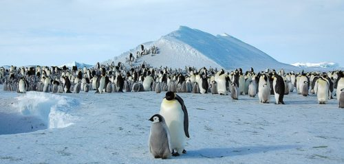 Emperor penguin on Snow Hill Island, Antarctica.