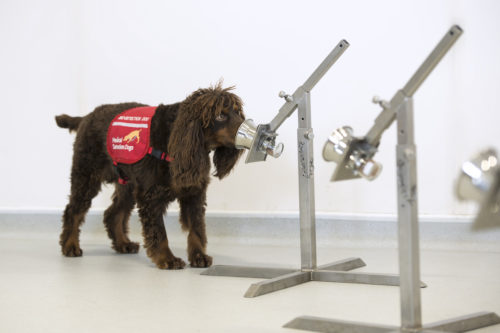 A dog being trained to sniff out the coronavirus.