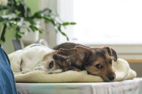 Two puppies lie bored in a bed.