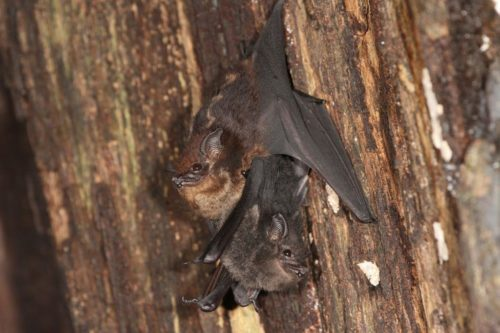Mother-pup pair of the greater sac-winged bat, Saccopteryx bilineata, in their daytime roost. The pup (dark fur color) is holding on to the mother's belly (light fur color).