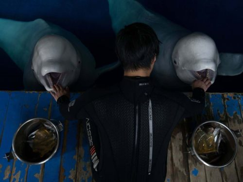 Two belugas being fed at the same time.