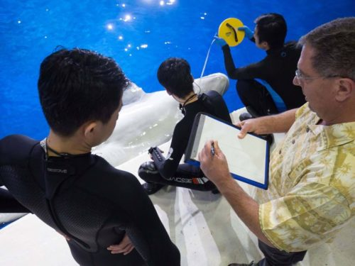 Scientists measure a beluga whale.