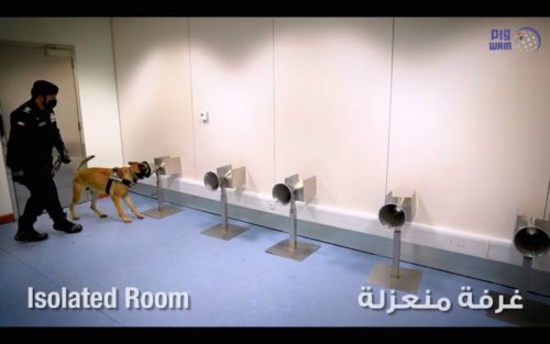 Coronavirus-sniffing dogs at work in a Dubai airport.