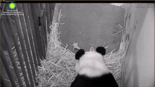 Giant panda Mei Xiang approaches her days-old cub.