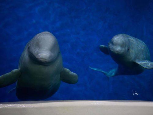 Two beluga whales in an aquarium.