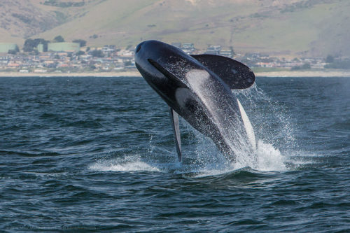 Orca, Killer Whale, breaching, Morro Bay, CA May 8, 2014