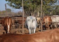 A cow marked with fake eyes on its rear end among other, unmarked cows.