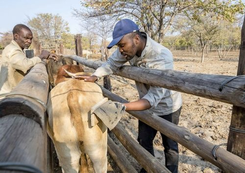 Farmers in Botswana mark a cow with fake eyes.