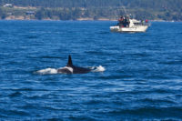 Orca and Boat