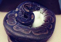 Ball python eggs 7-23-2020