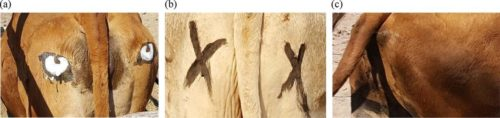 The researchers separated the cows into three different groups, with eyes, with Xs, and no marking.