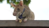 Magawa, the Hero Rat winner of the PDSA Gold Medal.