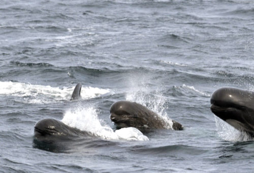 Long-finned Pilot Whales photographed southeast of Block Island, RI.