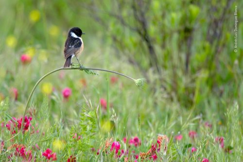 Stonechat perched on a bending plant. WPY Under 10 winner