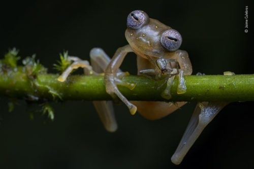 A Manduriacu frog on a branch. WPY Winner for Amphibian and Reptile Behavior, by Jaime Culebras.