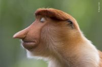 A proboscis monkey with its eyes closed. WPY 2020 Winner - Animal Portraits, by Mogens Trolle.