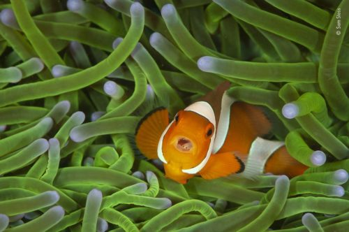 A clownfish in a sea anemone. WPY 2020 Winner 11-14, by Sam Sloss.