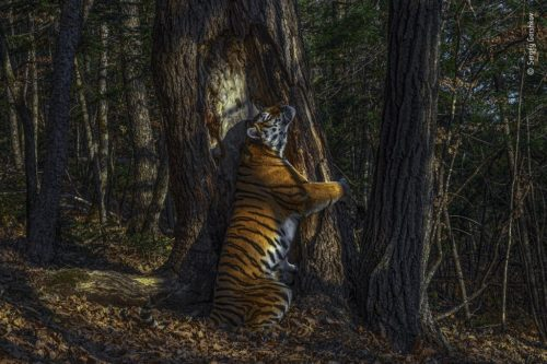 A Siberian tiger embracing a tree. WPY 2020 Grand Prize Winner, by Sergey Gorshkov.