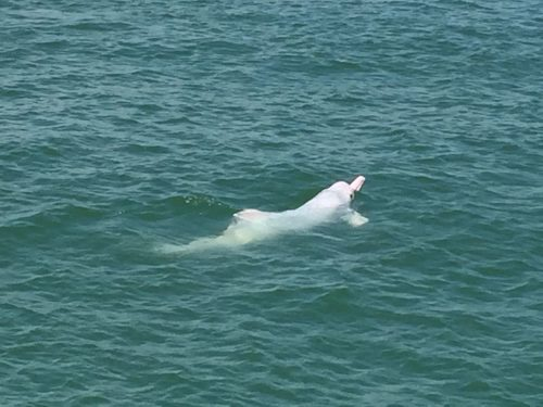 Photo of a Chinese white dolphin off the coast of Lantau Island, Hong Kong