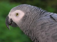 Congo African Grey parrot - showing head and neck in detail.