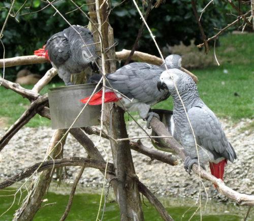 African Grey Parrots in Sylvan Heights Waterfowl Park