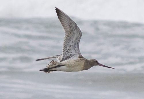 Bar-tailed godwit in flight.