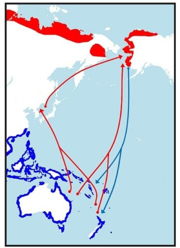 Bar-tailed godwit (Limosa lapponica) migration routes between Northern Hemisphere summer breeding grounds (red) to temperate overwintering areas (blue).