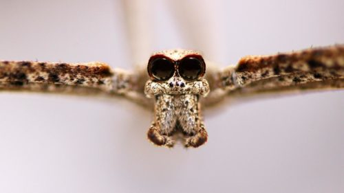 Closeup on the face of an ogre-faced spider.