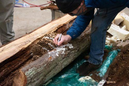 An entomologist studies the Asian giant hornet nest found in Washington.