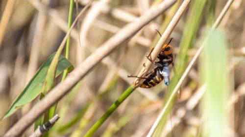 An Asian giant hornet wearing a tracker.