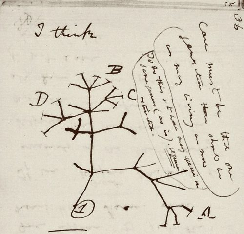 """Picture of a page in one of the missing Darwin notebooks, showing Darwin's famous """"Tree of Life"""" drawing."""