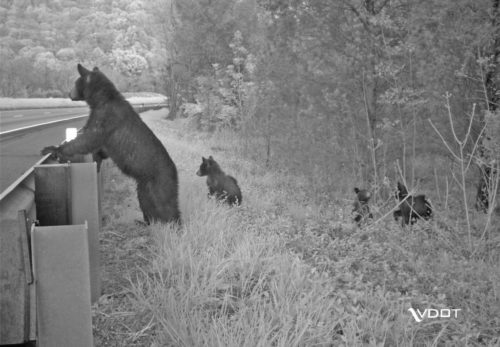 A bear looks over a guard rail at a busy highway, with several cubs visible behind her.