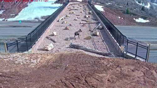 Animals have begun using a wildlife bridge over I-80 in Utah. In this shot, a female moose is shown crossing.