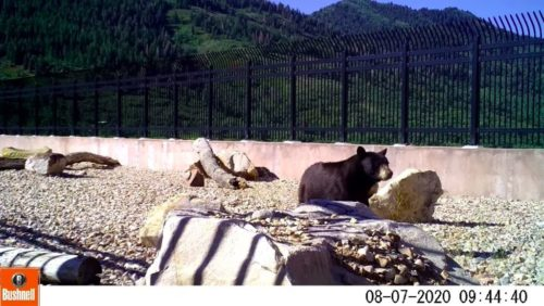 Animals have begun using a wildlife bridge over I-80 in Utah. In this shot, a bear is shown crossing.