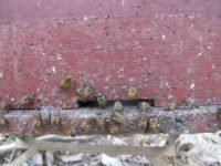 Honeybees apply poop around entrance to hive.