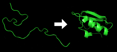 Illustration of the process of protein folding. Chymotrypsin inhibitor 2 from pdb file 1LW6.