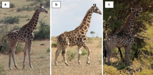 Three giraffes are shown: A. a full-sized giraffe, B. a dwarf giraffe in Uganda, C. a dwarf giraffe in Namibia.