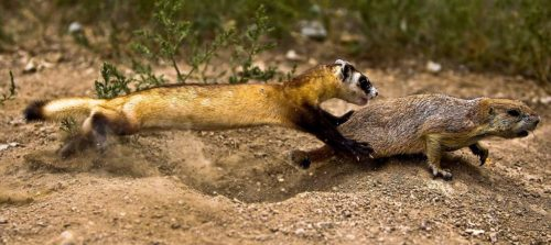 The National Black-footed Ferret Conservation Center breeds endangered black-footed ferrets and then prepares them for release into the wild. Here, a BFF is seen learning to catch live prey. Over 90% of a black-footed ferret's diet in the wild is prairie dog.
