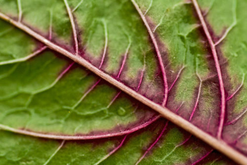 The back of a red spinach leaf.